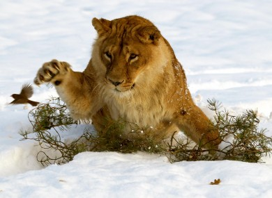 A lion tries to nab a robin at the Blair Drummond safari park in Stirling, Scotland. Britain and Ireland are both expected to see cold weather for the coming days.