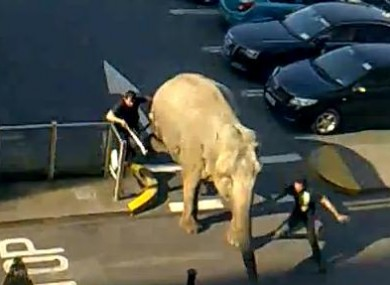 Elephant escapes from the circus