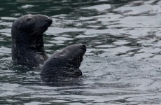Healy-Rae: Seal cull 'badly needed' to protect west coast fishing industry