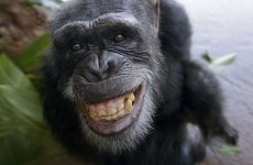 Our chimps are NOT on the pill, say Dublin Zoo