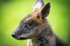 Missing wallaby and baby joey found dead in Down