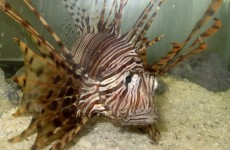 Jamaica is still trying to get rid of the invasive lionfish that is eating everything in the sea