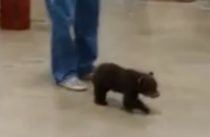 Lost baby bear wanders into garage looking for his mam