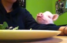 This piglet begging for salad is irresistibly cute